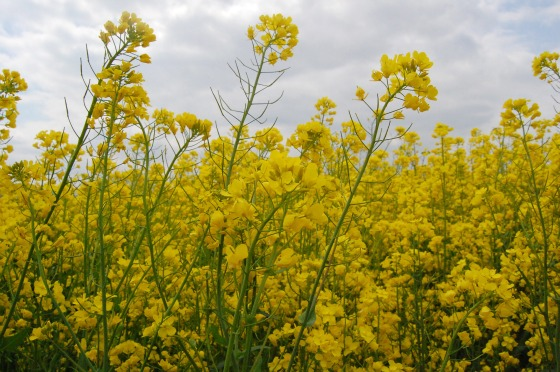 Canola or Rapeseed Flowers